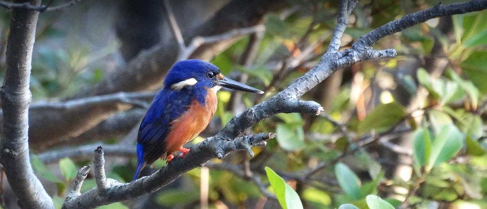 beautiful-Azure-Kingfisher-Brunswick-heads Byron Bay Eco Cruises - see the local wildlife.