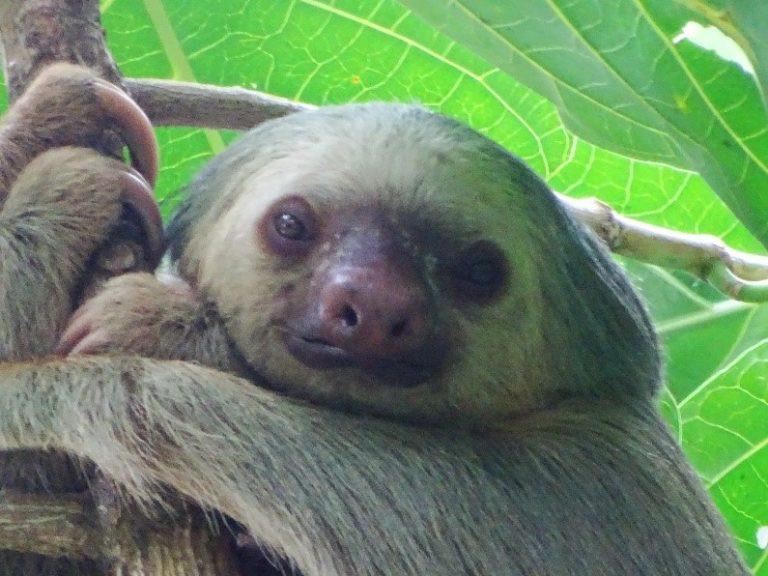 Sloth in Costa Rica - Adventure Eco Tourism