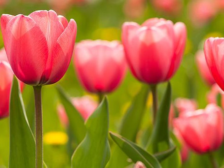 Olwg Competition of the week - Tulip Mania
