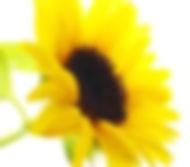 Logo de girassol