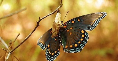 borboleta saindo do casulo