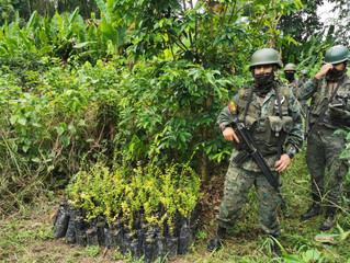 Plantaciones de coca en Sucumbíos