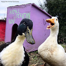 Duck Liberation (HHAS).jpg