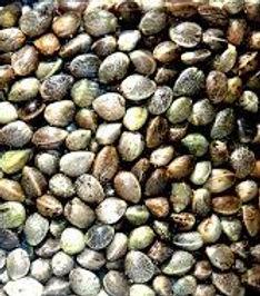 Hemp Seeds.jpg