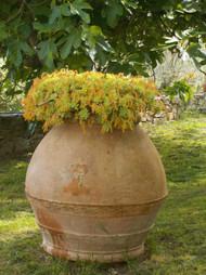 200 year old olive oil terra cotta in garden.