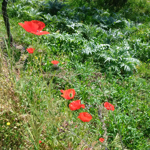 Poppies growing wild along the road.