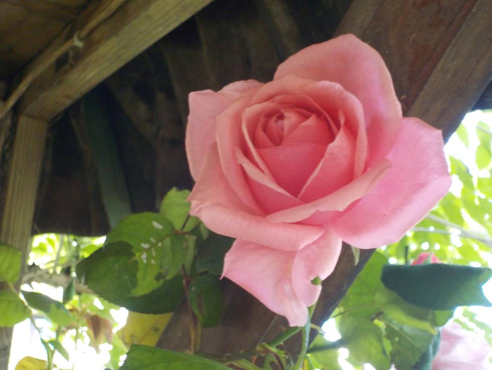 Beautiful rose in the garden.