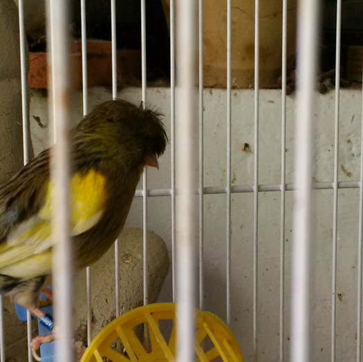 This is a female bird who has a beatnik hairdo and sits dud eggs. poor thing.