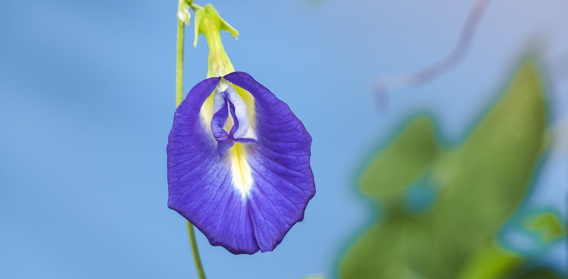 butterfly pea flower, purple flower in b