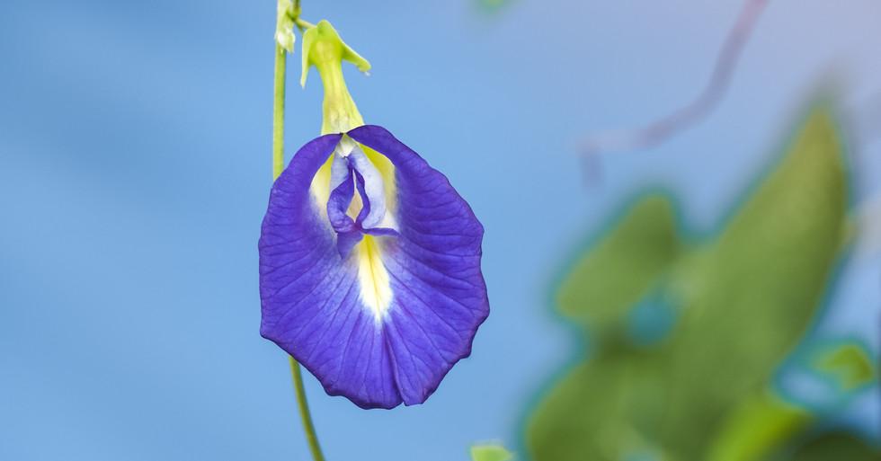 butterfly pea flower, purple flower in b