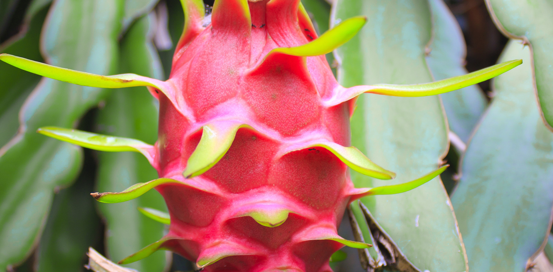 dragon fruit on a tree.jpg