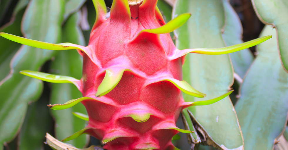 dragon fruit on a tree.jpg