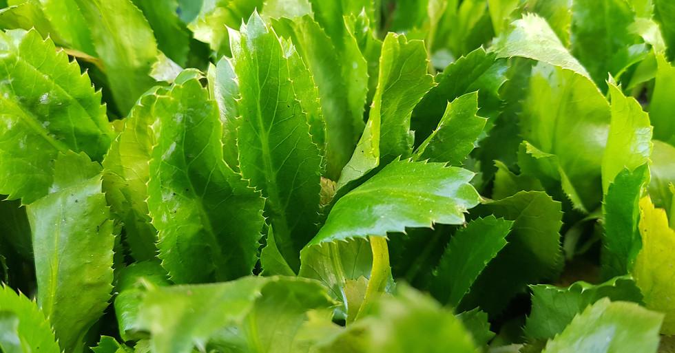 eryngium foetidum is known as coriander