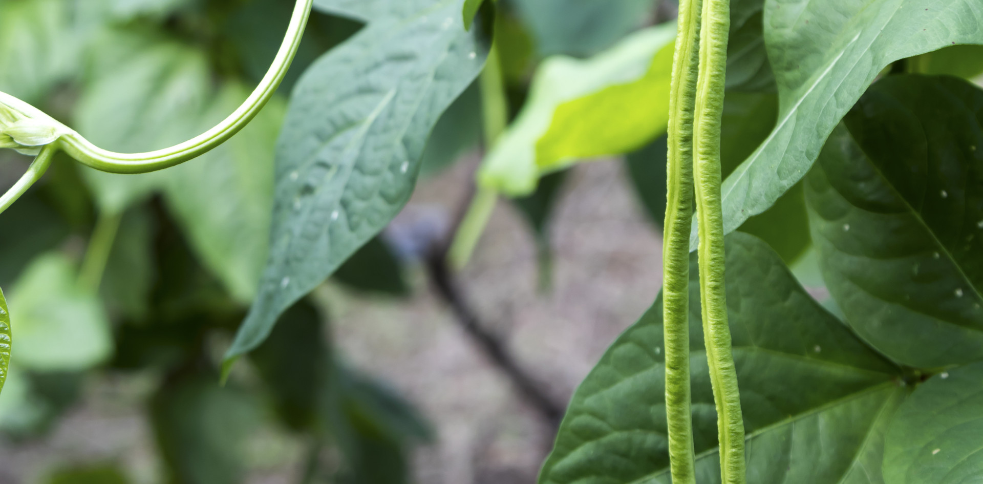fresh yard long bean plant in garden.jpg