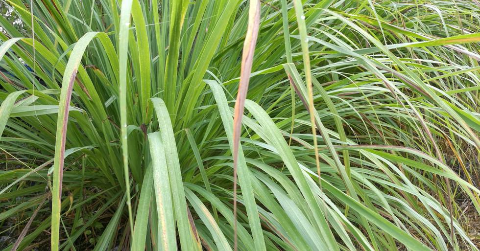 lemongrass in garden