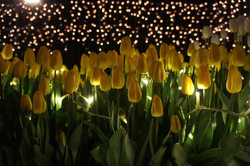 Winter tulip