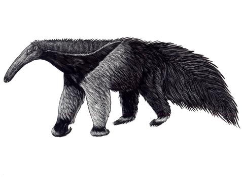 Scratchboard Anteater