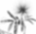 Calliandra tweedii_p&b.png