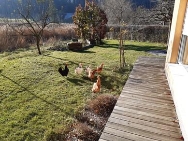 Hühner-Besuch von den Nachbarn bei denen Du ganz frische Eier holen kannst