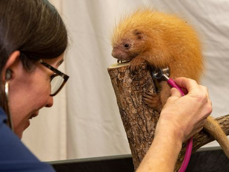 It's a girl! Disney welcomes new porcupine, names her after Cast Member