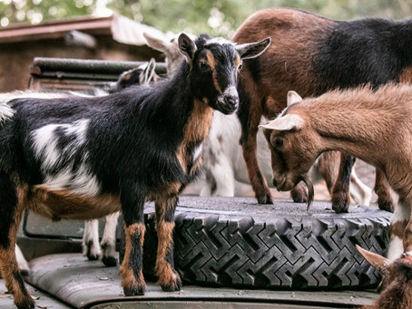 Goats! Disney's Animal Kingdom welcomes its newest safari additions