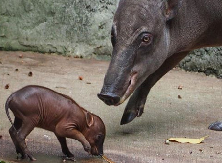 Disney's Animal Kingdom welcomes its first baby babirusa, born during COVID-19 closure