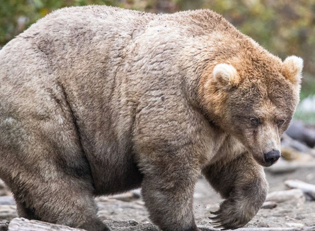 Fat Bear Week needs your votes to crown a chubby champion