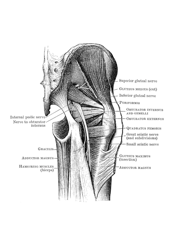 gluteal.png