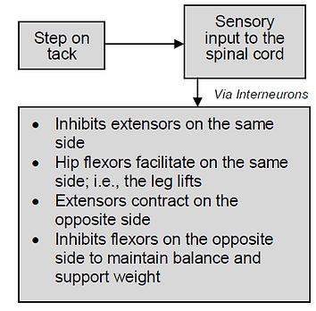 Schematic Flexor Withdrawal Reflex FWR.P