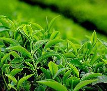 Was ist Grüner Tee?