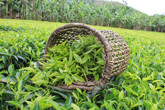 Proprietà e benefici del Tè Verde, naturale concentrato di benessere.