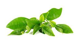 Foglie di Tè Verde - Ingrediente di ZEN Shape Jeunesse - JTEAM Network