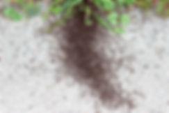 pavement-ant-war-2.jpg