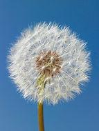 Dandelion Image.jpg