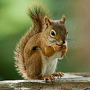 hh-animals-squirrel-4.png