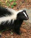 skunk-cropped.jpg