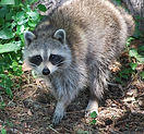 Raccoon-Removal-Service-Chicago-IL1.jpg