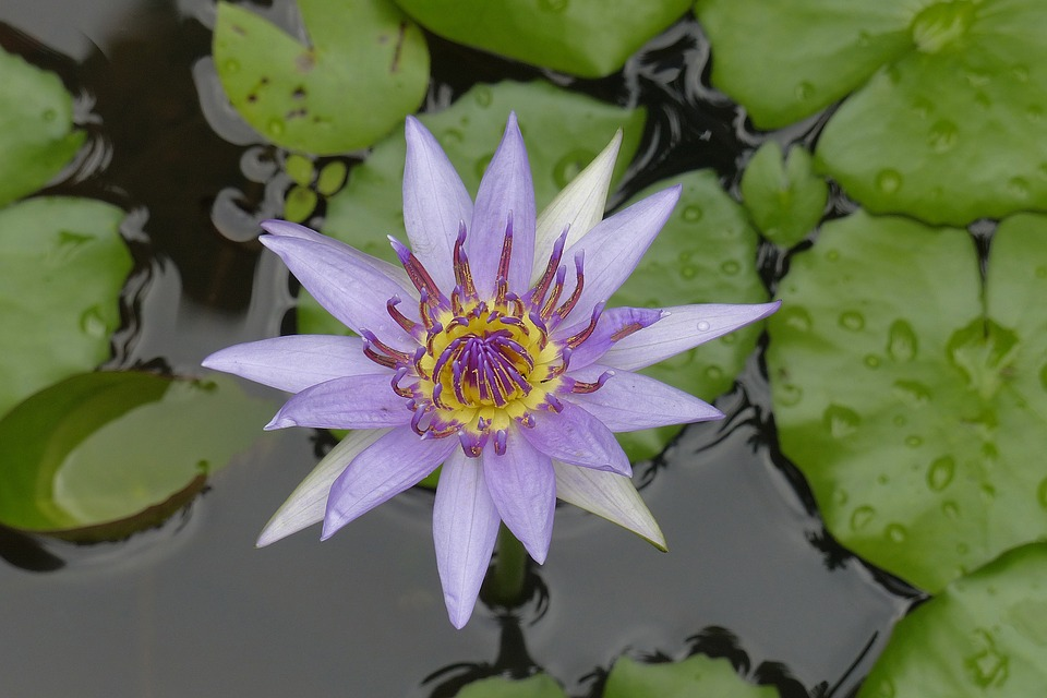 water-flower-222447_960_720