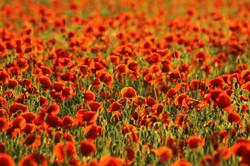 poppies-820756_960_720