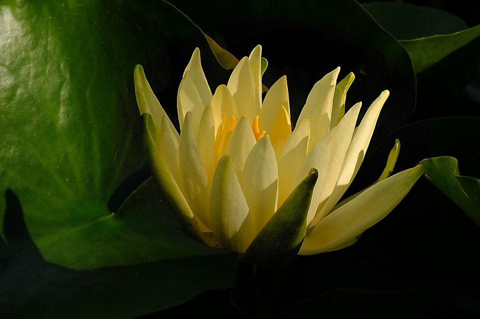 water-lily-694890_960_720