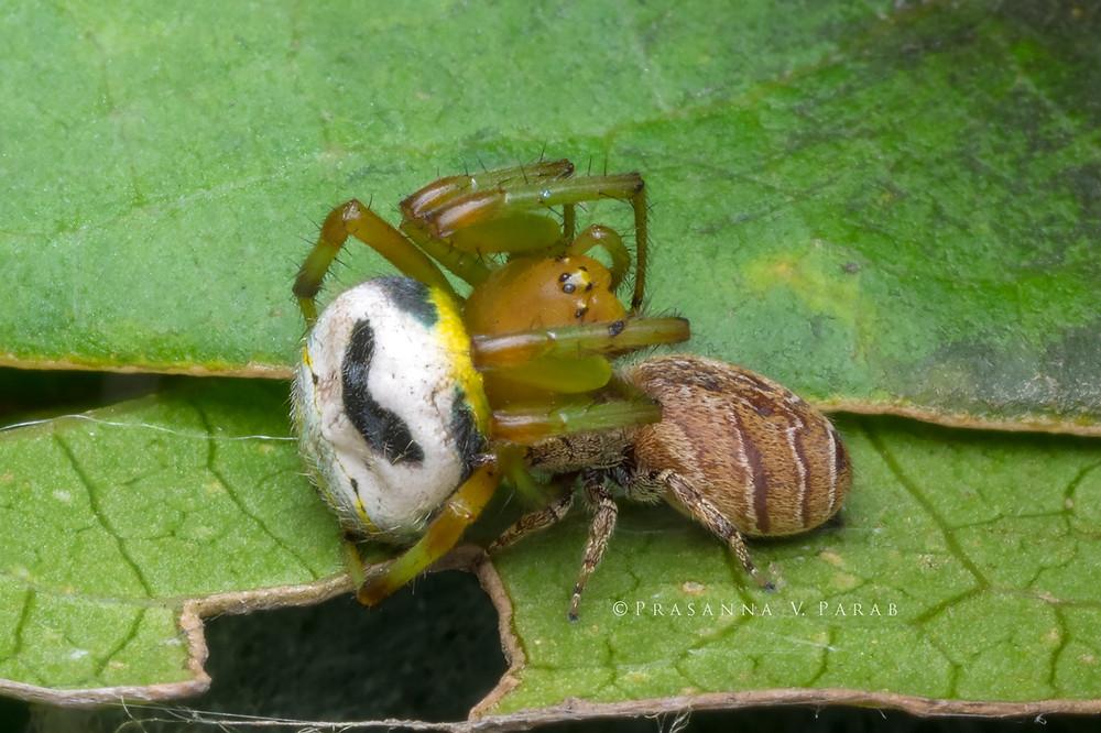 Jumping Spider (Rhene sp.) (BELOW) holding onto an Kidney Garden Spider (Araneus mitificus) (TOP).
