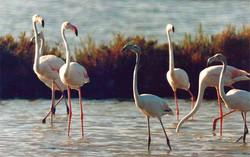 flamingi w oklicach Porto Pino