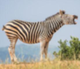 white-and-black-zebra-standing-on-ground-1916645_edited.jpg