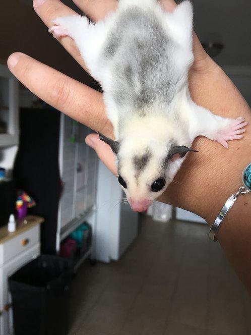 Hatchet- Female - Reverse Stripe Mosaic Pied - PET ONLY - SOLD