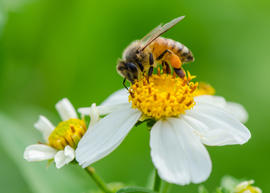 A bee on wild flower pollens with green