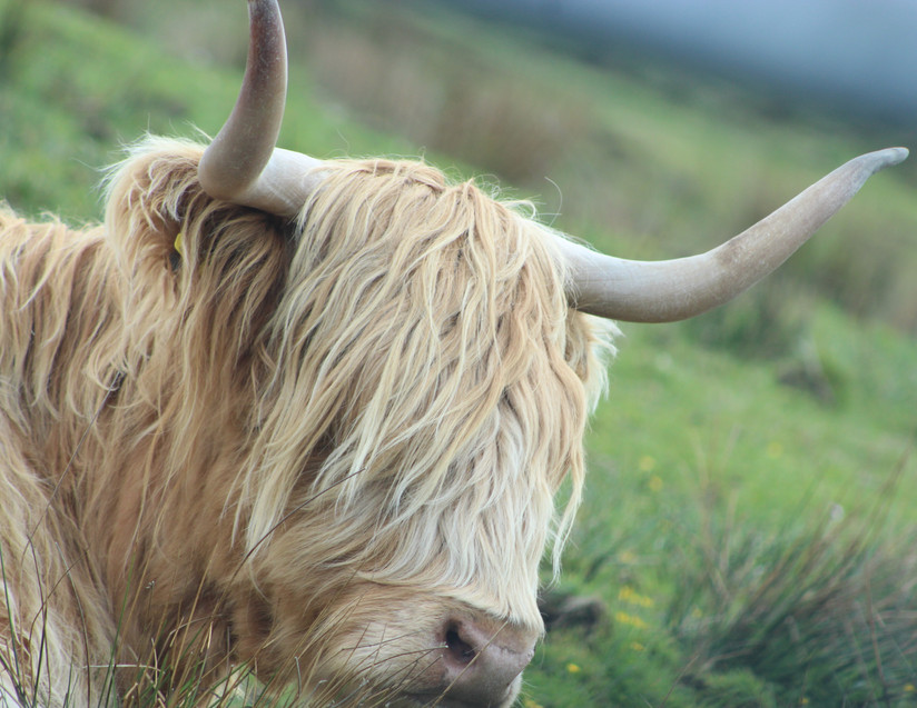 Harry - Highland Cow