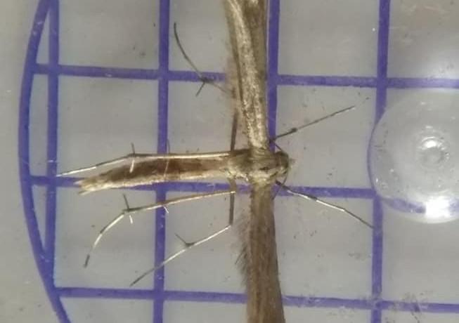 Hoary Plume micro moth