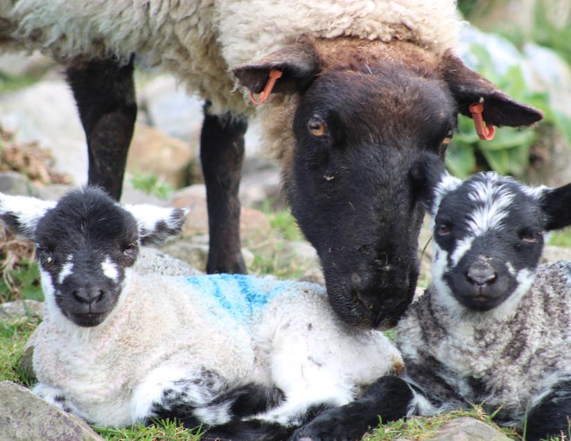 Sheep & Lamb