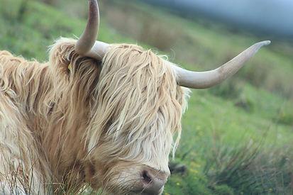 Highland Cow Close up - HHI