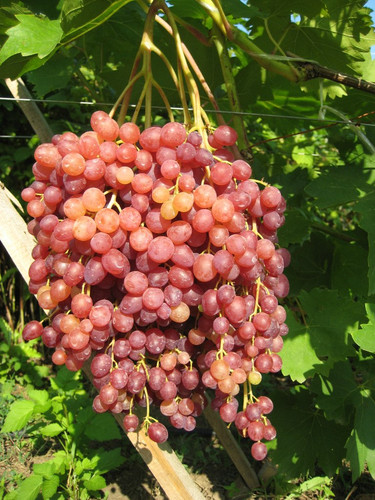 Виноград Велес - купить саженцы цены фото описание ЛПХ Игнатенко